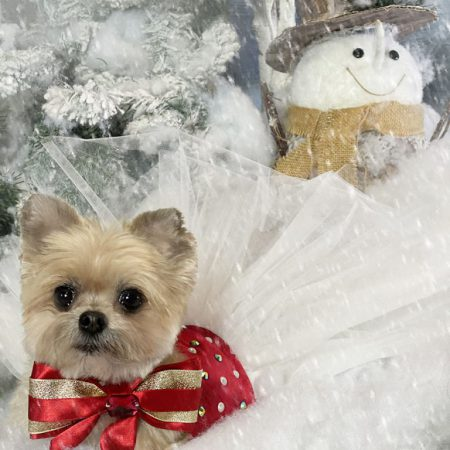 Christmas portrait of a dog wearing a tutu and bow tie