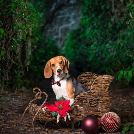 Portrait of a dog sitting in a sleigh