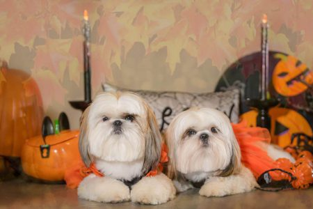 Halloween portrait of two dogs with fall filter