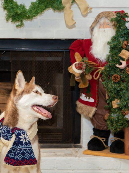 Pet photography - Christmas portrait of a dog