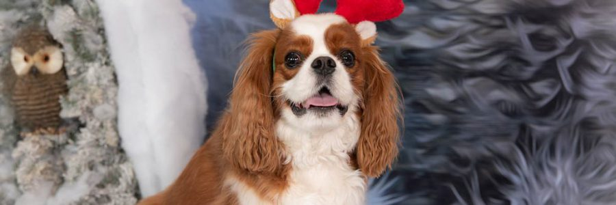 Christmas Portrait of a dog wearing plush antlers